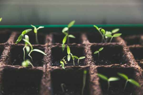 Image of little green plants growing up from seeds.